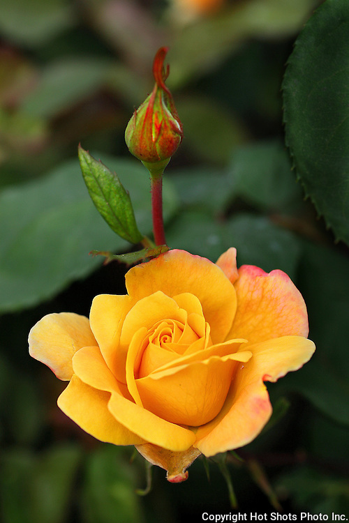 Yellow Rose with bud