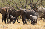 Elephant family, Serengeti