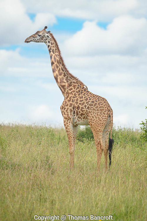 The Giraffe stood tall, gazing into the distance. She projected a sense of grace, elegance beyond what I expected. Her 16 feet was impressive.