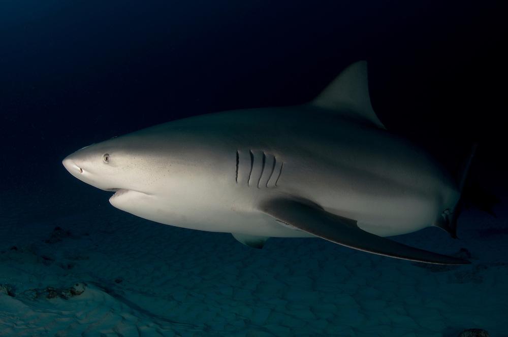 A large, pregnant bull shark off Mexico's Playa Del Carmen. Bull sharks, Carcharhinus leucas, off Playa Del Carmen, Mexico.