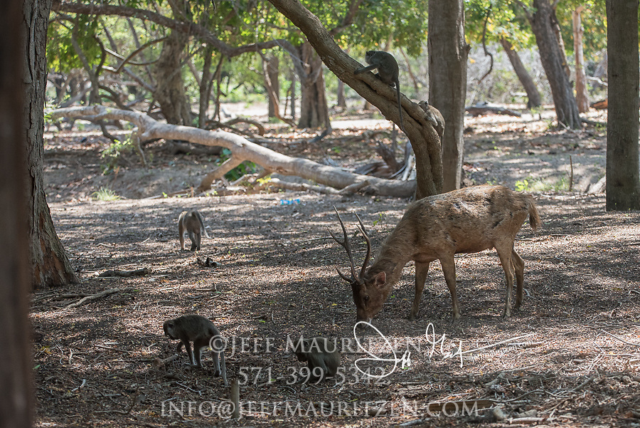 A Timor deer and Long-tailed macaques forage for food on Rinca Island, part of the Komodo National Park in Indonesia.