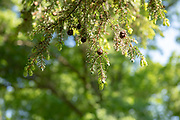 college green, Mapp Athens, summer, Tree Tour, Easxtern Hemlock