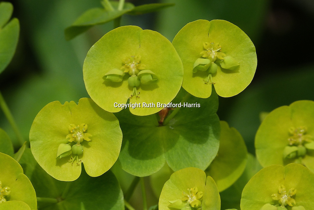The unusual lime green flowers of Euphorbia amygdaloides 'Robbiae', a garden variety of the British native Wood Spurge.<br /> <br /> Date taken: 26 April 2015.