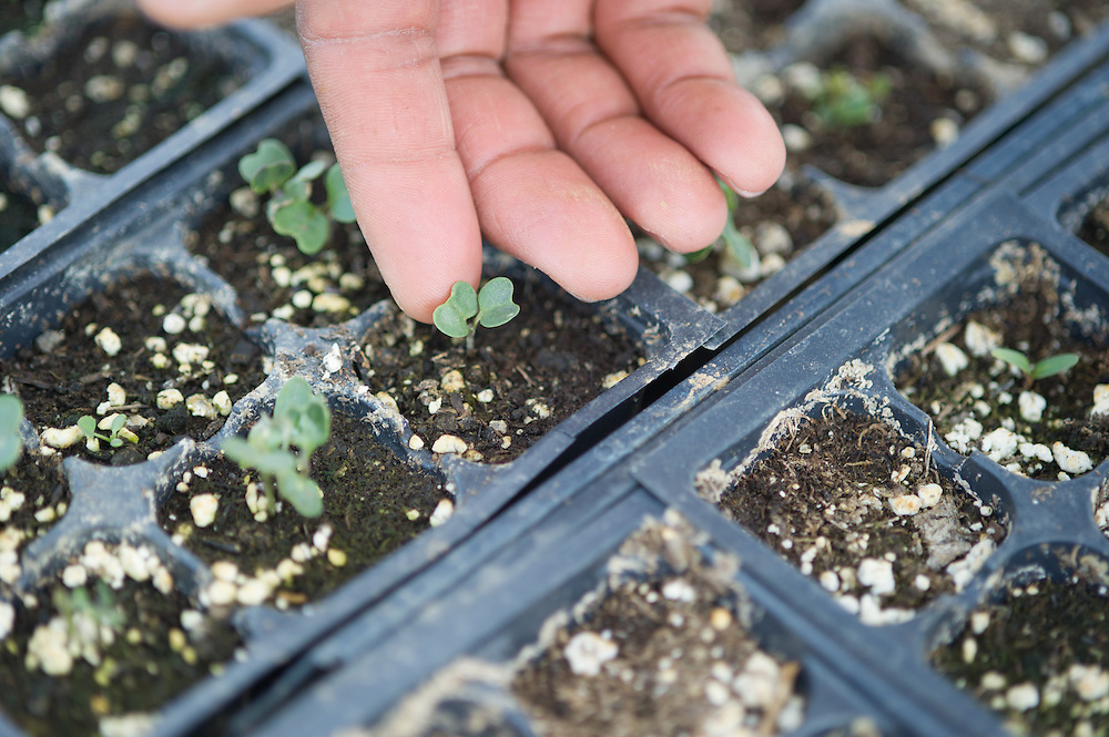 Finger touching seedlings growing in seed flats in a green house