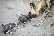African Wild Dog<br /> Lycaon pictus<br /> Adult greeting 5 week old pup<br /> Northern Botswana, Africa<br /> *Endangered species