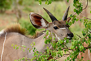 Young male greater kudu eating leaves off a tree, Chobe National Park, Botswana, © 2019 David A. Ponton