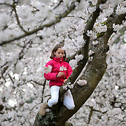 Nya Uberman-Gillon, 9, of Olympia climbs a cherry tree as the Yoshino cherry trees blossom Tuesday, April 4, 2012 at the University of Washington in Seattle. The trees are in full bloom and if you want to go see them you  probably need to do it soon. (Joshua Trujillo, seattlepi.com)