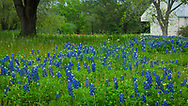 Texas Bluebonnets in bloom at the Birth place of Texas, Washington-on-the-Brazos State Park