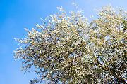Middle east, Olive tree on blue sky background
