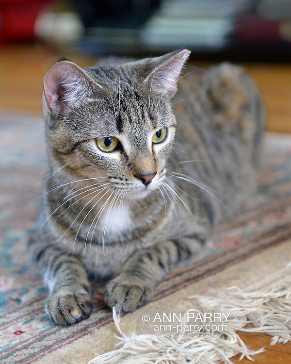 Cleo the tabby cat at home on Sept. 1, 2015, after being adopted from Last Hope Animal Rescue and Rehabilitation, Wantagh, New York, USA