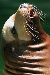 24 July 2005.  <br /> Sea Lion.<br /> Memphis Zoo.  Memphis TN (Photo by Alan Look)