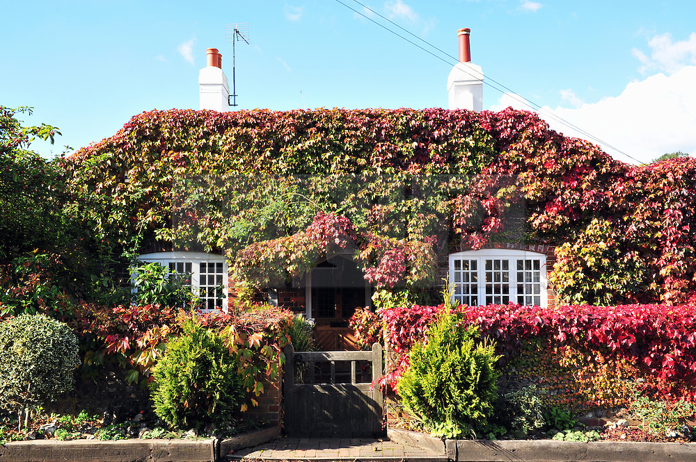 © Licensed to London News Pictures. 11/10/2016<br /> A cottage in Halstead,Kent covered in Autumn colours.<br /> Sunny Autumn Kent weather today in Halstead,Kent.<br /> <br /> <br /> Photo credit :Grant Falvey/LNP