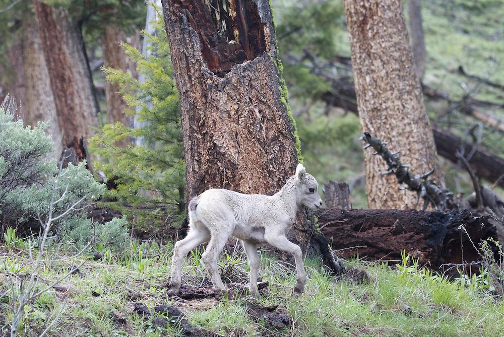 Bighorn lamb, Yellowstone National Park