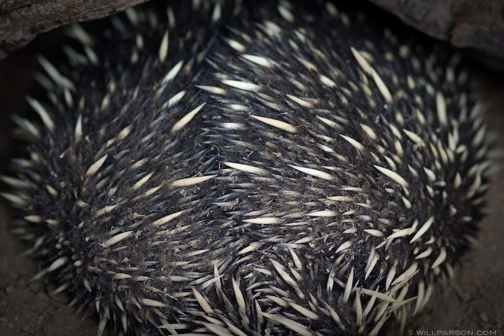 A rolled-up echidna sleeps at the San Diego Zoo