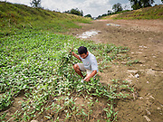 01 JULY 2015 - NON PHAK NAK, SUPHAN BURI, THAILAND:  A man harvests wild vegetables in an empty irrigation canal in Lopburi province. Normally the canal is full of water. Central Thailand is contending with drought. By one estimate, about 80 percent of Thailand's agricultural land is in drought like conditions and farmers have been told to stop planting new acreage of rice, the area's principal cash crop. Water in reservoirs are below 10 percent of their capacity, a record low. Water in some reservoirs is so low, water no longer flows through the slipways and instead has to be pumped out of the reservoir into irrigation canals. Farmers who have planted their rice crops are pumping water out of the irrigation canals in effort to save their crops. Homes have collapsed in some communities on the Chao Phraya River, the main water source for central Thailand, because water levels are so low the now exposed embankment is collapsing. This is normally the start of the rainy season, but so far there hasn't been any significant rain.    PHOTO BY JACK KURTZ