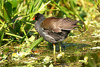 Common Moorhen (Gallinula chloropus),  Green Cay Nat   Photo: Peter Llewellyn