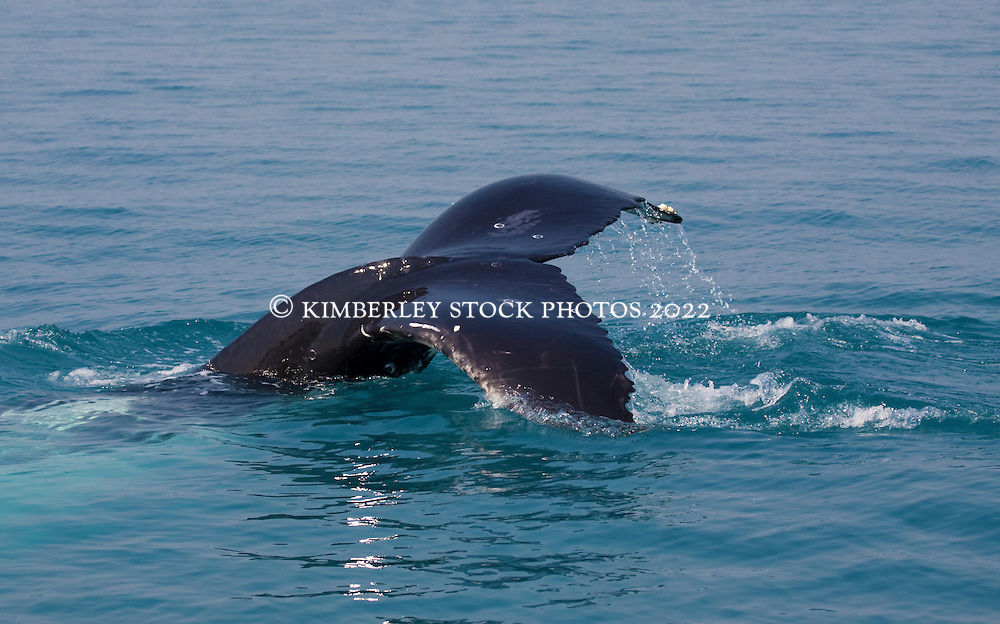 A Humpback whale displays its tail as it takes a dive in Camden Sound.