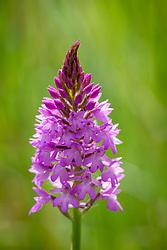 Pyramidal Orchid. Anacamptis pyramidalis