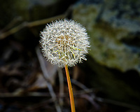 Dandelion seeds. Image taken with a Fuji X-T2 camera and 100-400 mm OIS lens (ISO 200, 400 mm, f/11, 1/80 sec).