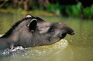 Brazilian Tapir, Tapirus terrestris, Pantanal, Brazil