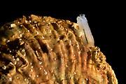 [captive] Tunicate on European flat oyster (Ostrea edulis), Helgoland, Germany |Manteltiere (Tunicata, Urochordata) auf einer Auster. Europäische Auster (Ostrea edulis) Helgoland, Deutschland