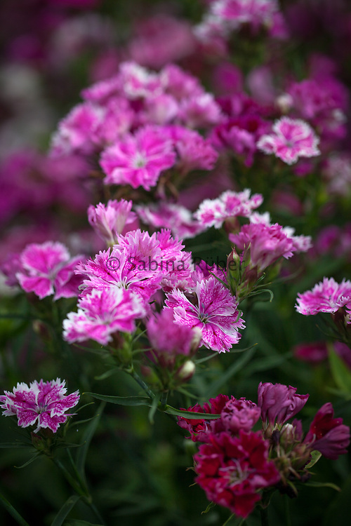 Dianthus barbatus x chinensis - Large Flowering Hybrids