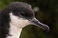 Newell's Shearwater photos