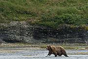A brown bear cow adult hunts for salmon in the lower lagoon at the McNeil River State Game Sanctuary on the Kenai Peninsula, Alaska. The remote site is accessed only with a special permit and is the world's largest seasonal population of brown bears in their natural environment.