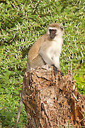 Vervet monkey (Chlorocebus pygerythrus). These monkeys are native to Africa. They are found mostly throughout Southern Africa, as well as some of the eastern countries. Photographed in Tanzania