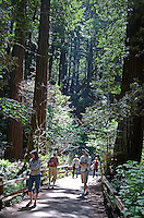 Muir Woods is world famous for its redwoods, Sequoia sempervirens. it is  located in the midst of a metropolitan region just eight miles north of San Francisco. 201304302187<br />