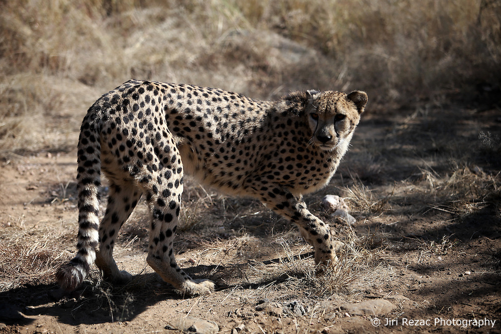 NAMIBIA WINDHOEK 4MAY14 - A cheetah prowls though a large enclosure at the Duesternbrook guest farm near Windhoek, Namibia.<br /> <br /> Düsternbrook is the first and oldest guest farm in Namibia, located just north of Windhoek and offers Cheetah and Leopard game drives.<br /> <br /> <br /> <br /> jre/Photo by Jiri Rezac<br /> <br /> <br /> <br /> © Jiri Rezac 2014