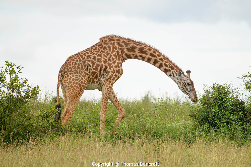 A girraffe has the same number of vertebrae in its neck as any other mammal. The seven vertebrae are longer than for most mammals and provide almost half the overall height of a giraffel.