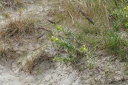 Duinteunisbloem, Oenothera oekesiana