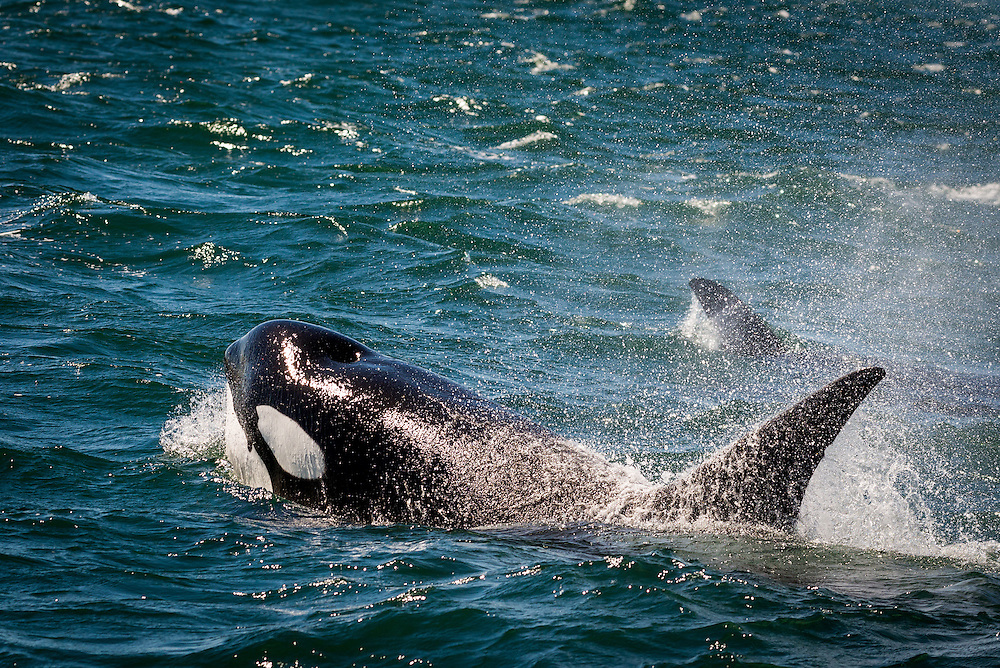 A hunting orca is seen while on a whale-watching tour with Orca Spirit in Victoria, British Columbia, Canada.