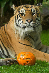 © Licensed to London News Pictures. 30/10/2012. London, UK. Jae Jae, a four year old Sumatran tiger, is seen with carved Halloween pumpkins as the animals of London Zoo join in with Halloween festivities in London today (30/12/12). Photo credit: Matt Cetti-Roberts/LNP