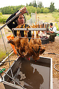 "Small family farmers Matt and Jen Schwab operate ""Inspiration Plantation"" an organic farm outside of Ridgefield, Washington. The couple raises and harvests their own heritage chickens, and seasonally inviting their customers in the community to visit their farm and help with the poultry harvest. Once the birds are killed, they're placed in a bath of near boiling water to loosen the feathers and then rotated in a washing machine-like tub with rubber appendages that pull the feathers out. Visiting helpers can participate in every step of the process and receive a fresh chicken for their efforts."