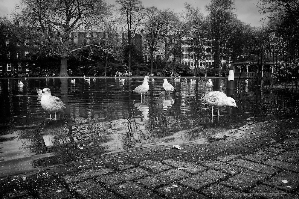 Seagulls prowl the waters edge in the pond in the middle of Dublin's famous Stephen's green park