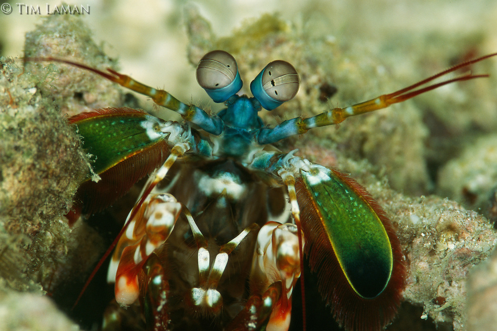 A close view of the head of a mantis shrimp, Squilla species.