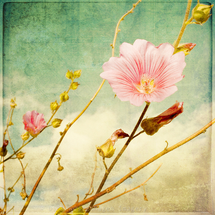 Painterly processing on a malva photo.<br />
