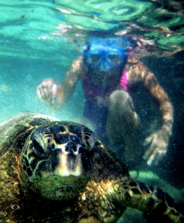 A green sea turtle floats amongst a snorkeler off of Hilo Bay about Carlsmith Beach Park on the Big Island.