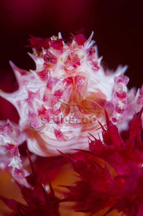 Soft Coral Crab, Hoplophrys oatesii, Portrait of individual of soft coral host, Tafaga, Moti Island, Halmahera, Maluku Islands, Indonesia