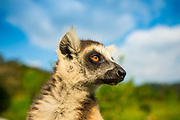 Ring-Tailed Lemur (Lemur catta) native to Madagascar