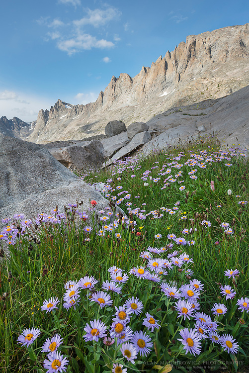 Titcomb Basin wildflowers composed of  purple Asters, Bridger Wilderness, Wind River Range Wyoming
