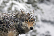 Snow covered Grey Wolf, Yellowstone National Park.