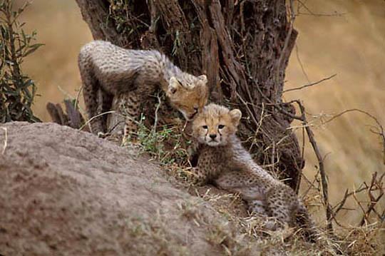 Cheetah, (Acinonyx jubatus) Cubs on termite mound.Serengeti Plains Masai Mara Game Reserve. Kenya. Africa.