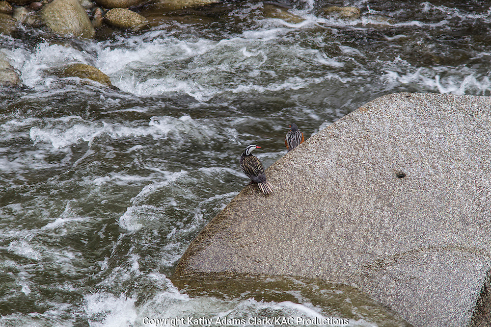 Torrent Duck, Merganetta armata, pair, in the Urubamba River, near Pueblo Machu Picchu, Peru.