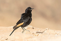 Male Tristram's Starling Onychognathus tristramii perched on rock against mountain background