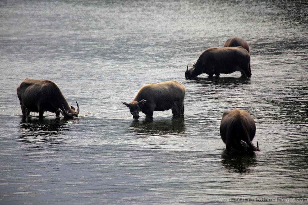 Asia, China, Guilin. Water buffalo along Li River in rural China.