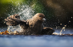 Brown Skua (Stercorarius antarcticus) bathing, Auckland Islands. New Zealand