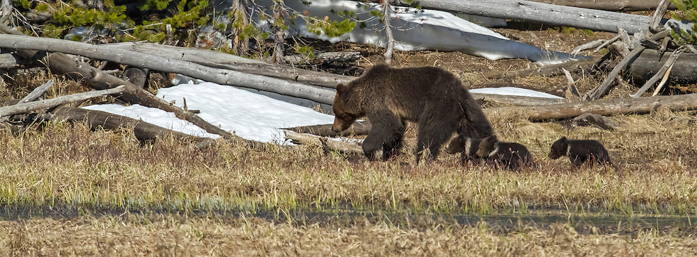 A young grizzly sow leads her tiny spring cubs into the safety of the pines near Obsidian Creek in Yellowstone National Park.